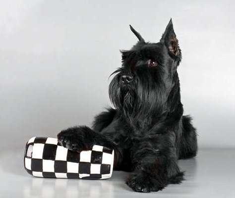 Как получить чемпиона россии собаке